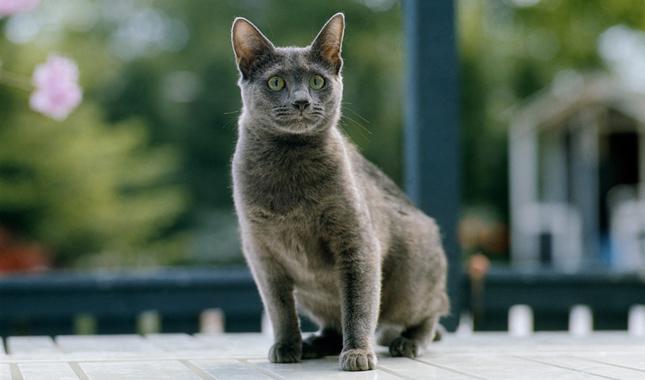 b73d1e16b0 Russian Blue   Nebelung Cat Breed Information