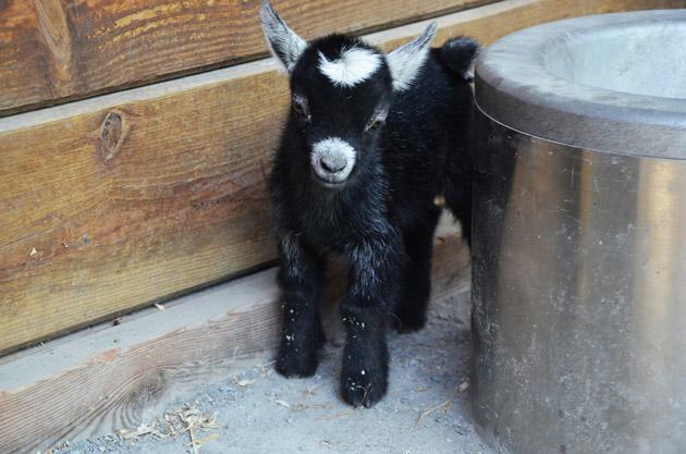 Lana the pygmy goat standing