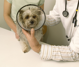 Vet and dog wearing surgery collar