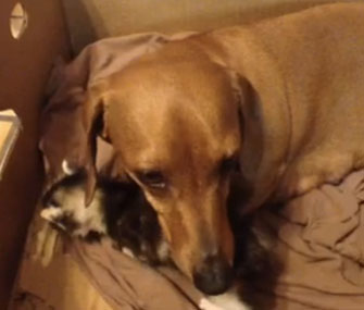 Duchess the Dachshund nurtures a motherless kitten.