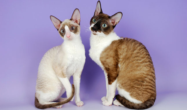 Cornish Rex Cat Breed Information