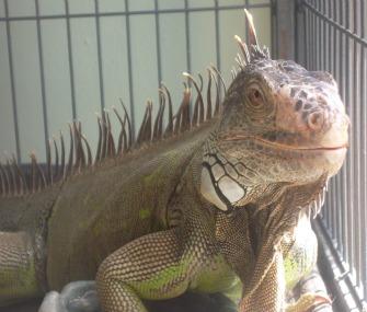 Iguana in cage