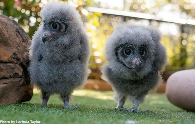 Sooty owlets at the Taronga Zoo