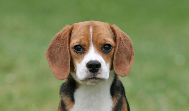 47556e48 Beagle Breed Information