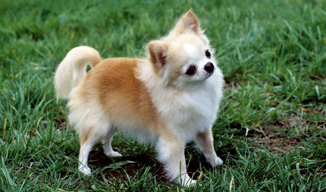 Chuwa Dog