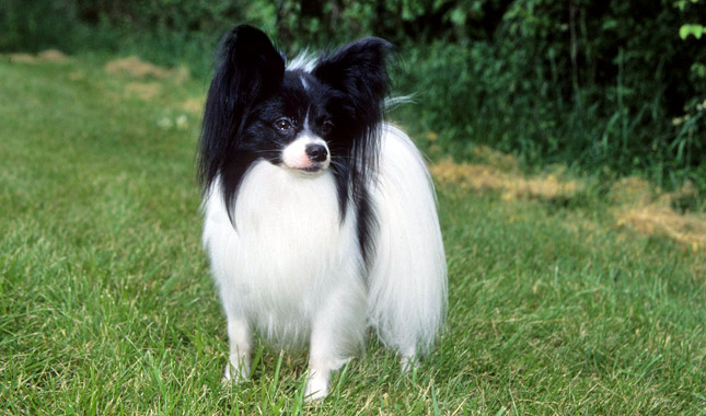 Papillon Dog Breed Information