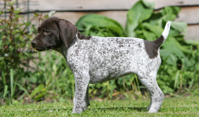 German Shorthaired Pointer Height