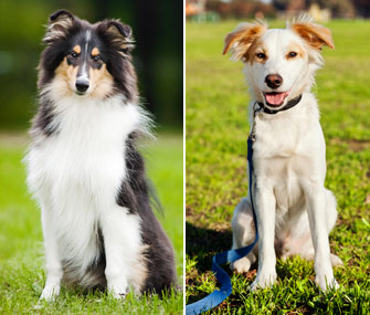Dog Breeds Vs Dog Hybrids