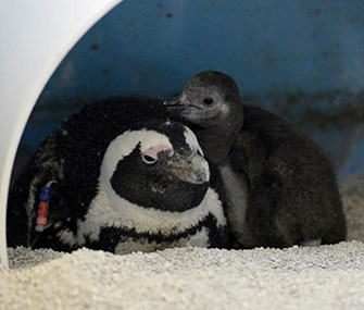 One of the chicks warms up with mom at the Mystic Aquarium.