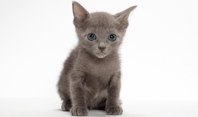 Russian Blue / Nebelung Cat Breed Information