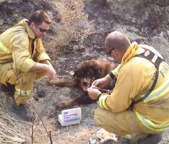 Sonoma Valley firefighters help an injured dog found in the burn area of the Rocky Fire last week.