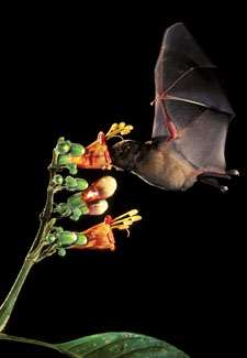 bat pollinating flowers