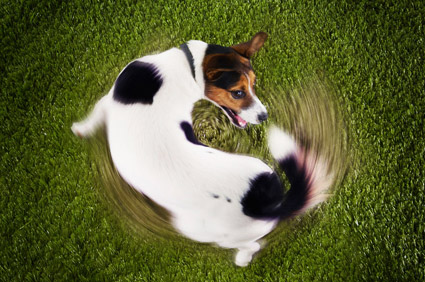 Dog chasing his tail in a circle.