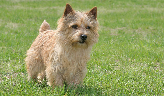What does a norwich terrier cost