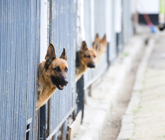 German Shepherds in kennel