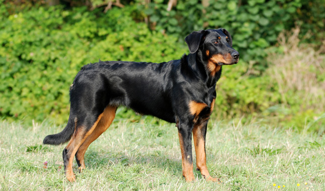 Beauceron Breed Information