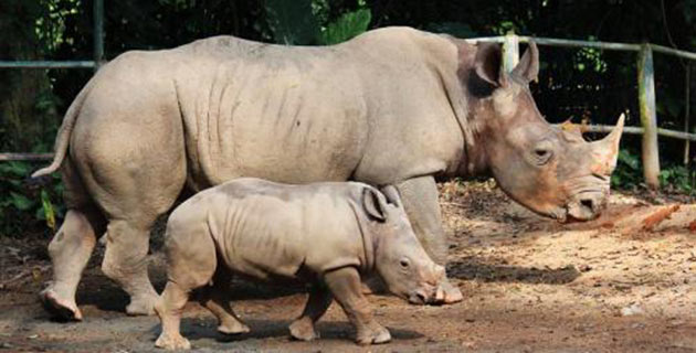 Baby white rhino Jumaane and his mom, Shova, at the Singapore Zoo.