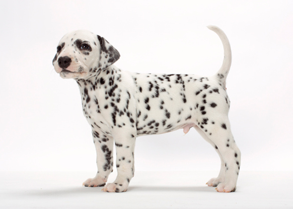 Survey: 15 Dog Breeds New Pet Owners Should Avoid