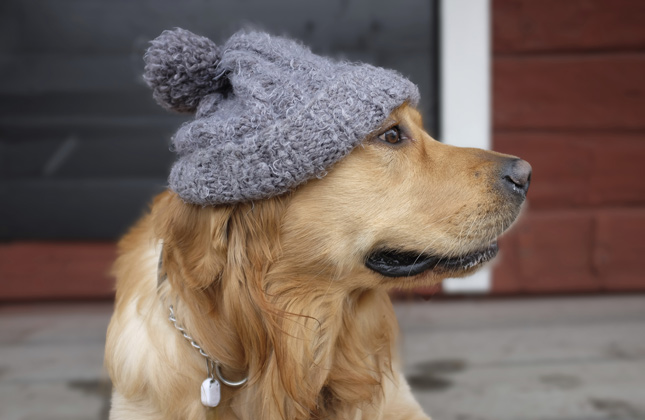 Golden Wearing Hat