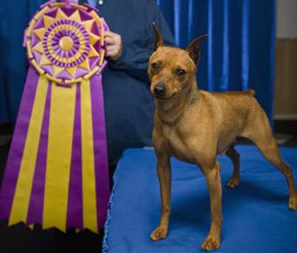Dog with ribbon at dog show
