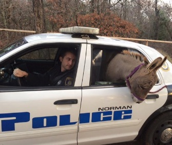 Norman, Oklahoma, police Officer Kyle Canaan rescued a miniature donkey found wandering on a rural road.