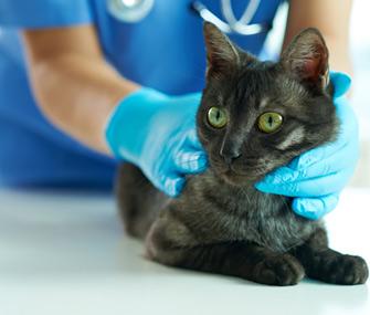 Vet examining cat