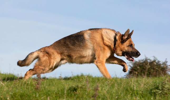 German Shepherd Dog Breed Information