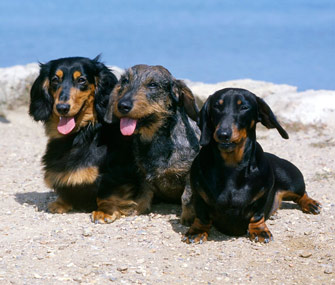 Wirehaired, longhaired and smooth Dachshunds