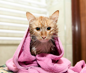 Bathed cat in towel
