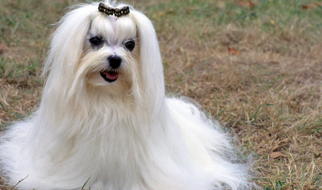 lifespan of a maltese maltese breed information 4637