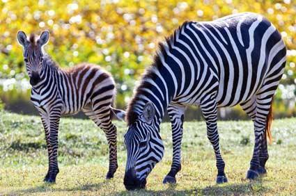 Baby Grevys Zebra