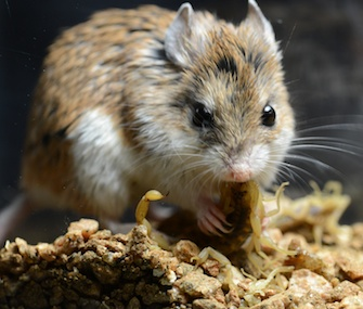 The grasshopper mouse has evolved to not feel the pain of a bark scorpion's sting.