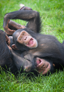 two monkeys playing together