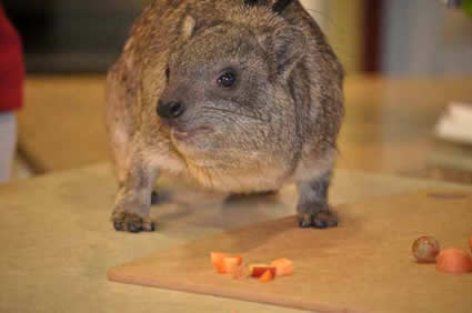 rock hyrax eating