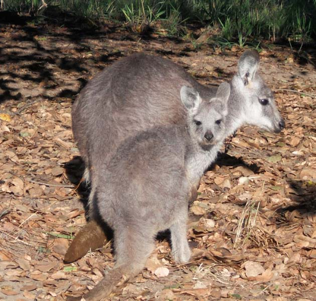 Wallaroo Joey