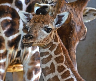 A female Rothschild's giraffe was born last month at a zoo in Spain.