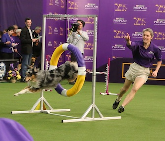 Holster, an Australian Shepherd, won the Westminster agility competition on Saturday.