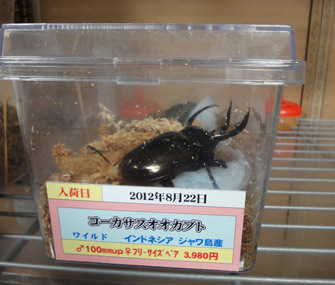 Pet beetles in Japan