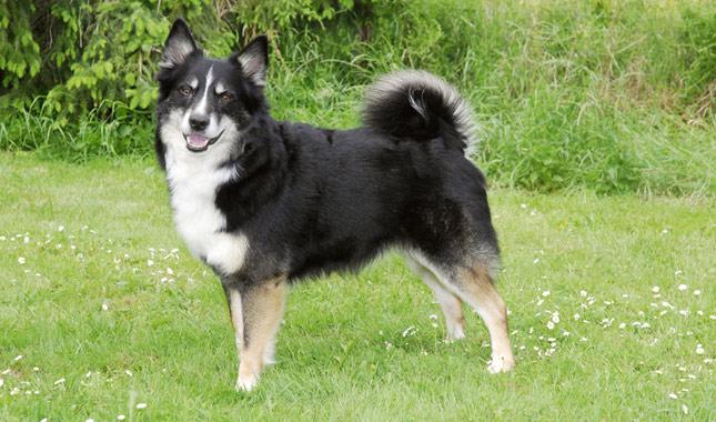 Popular Icelandic Sheepdog Canine Adorable Dog - Icelandic-Sheepdog-AP-FOVSVR-645sm5814  You Should Have_188284  .jpg
