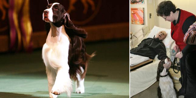 James the English Springer Spaniel