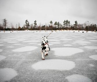 Dalmatian on Ice