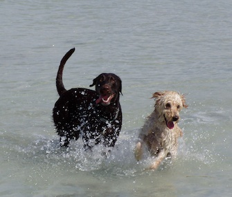 Christi Sherouse's dog, Cleo, right, plays in the water with her best friend, Maya, at the beach along Rickenbacker Causeway on the way to Key Biscayne.