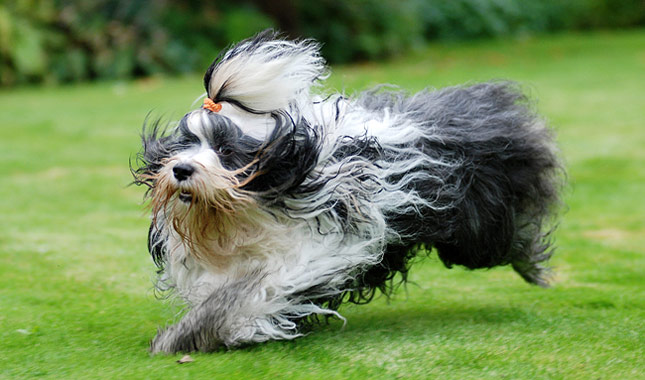 tibetano terrier tibetan terrier dog breed information 7883
