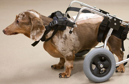 Dachshund with spinal injury