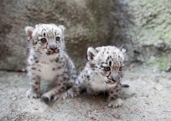 Tiny Snow Leopard Cubs Shatter Hearts In New York