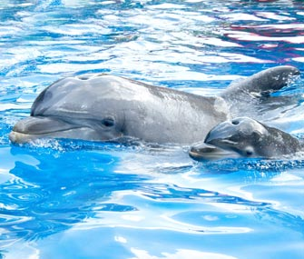 Starkey the dolphin and her newborn calf swim together at SeaWorld Orlando.