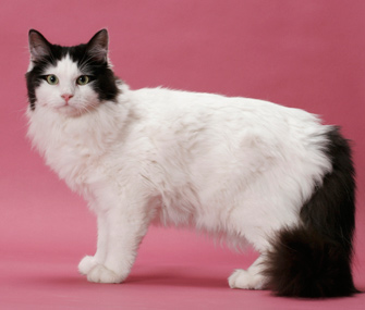 Ragamuffin cat breed
