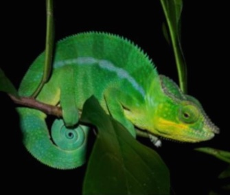 A new study uncovers how chameleons can change colors so quickly.