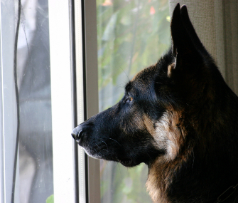German shepherd at door