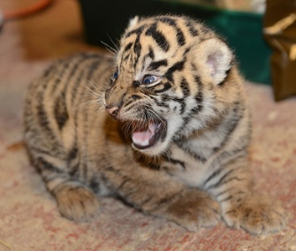 One of the tiger cubs lets out a little roar at its first exam.